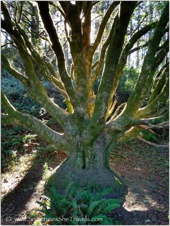 Medusa-tree