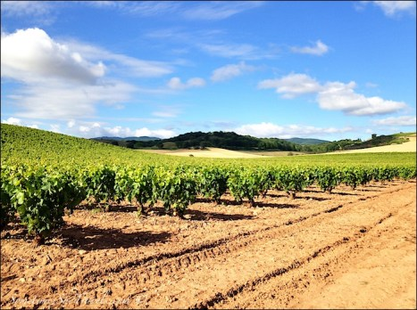 camino de santiago grapevines