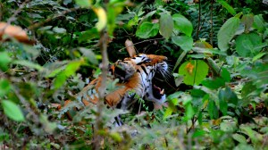 Searching for tigers in India and other joys