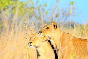 Botswana lions