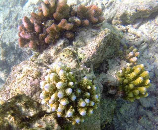 Young corals