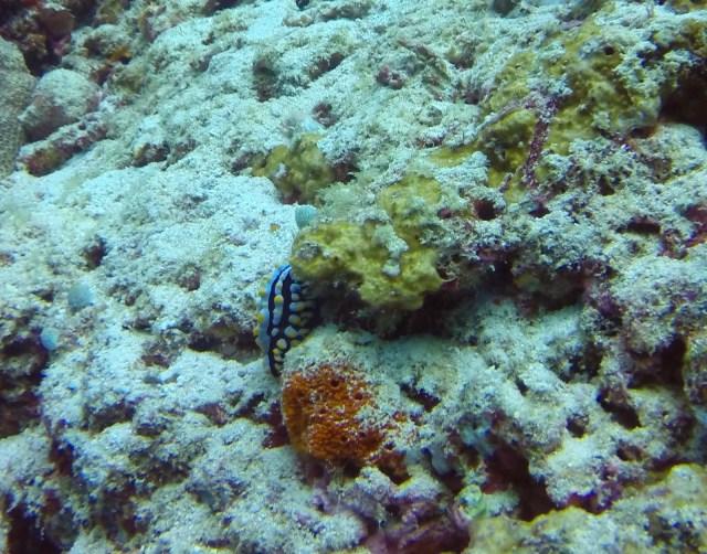 Nudibranch Maldives