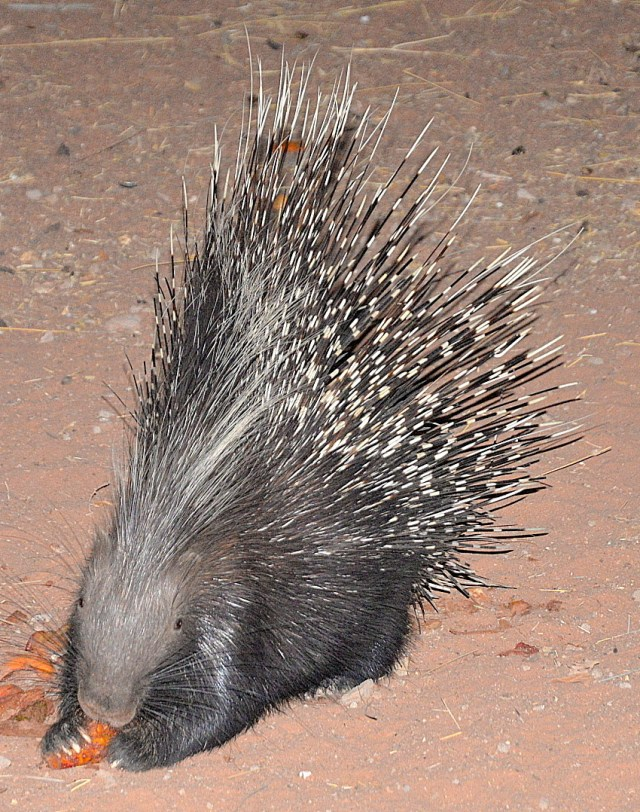 Solo trip through Namibia - Porcupines