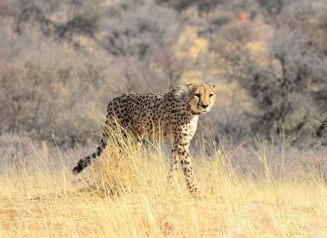 Solo trip through Namibia cheetah