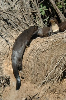 Real Giant Otter