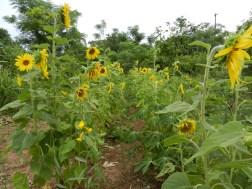 Nothing so fun or beautiful as a field of sunflowers!