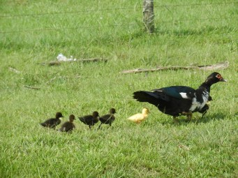 Parade of ducklings