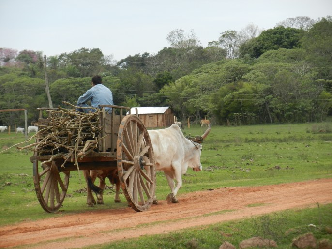 Ox cart passing my house with a load of firewood for sale in the next town