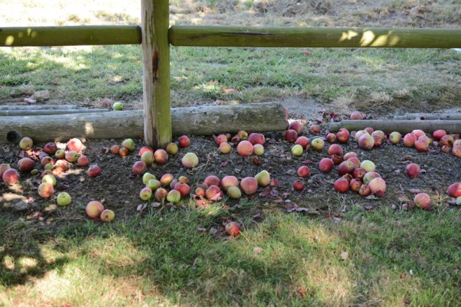 apples on ground