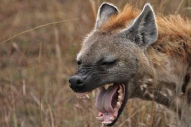 A (Slightly Late) Hyena Halloween