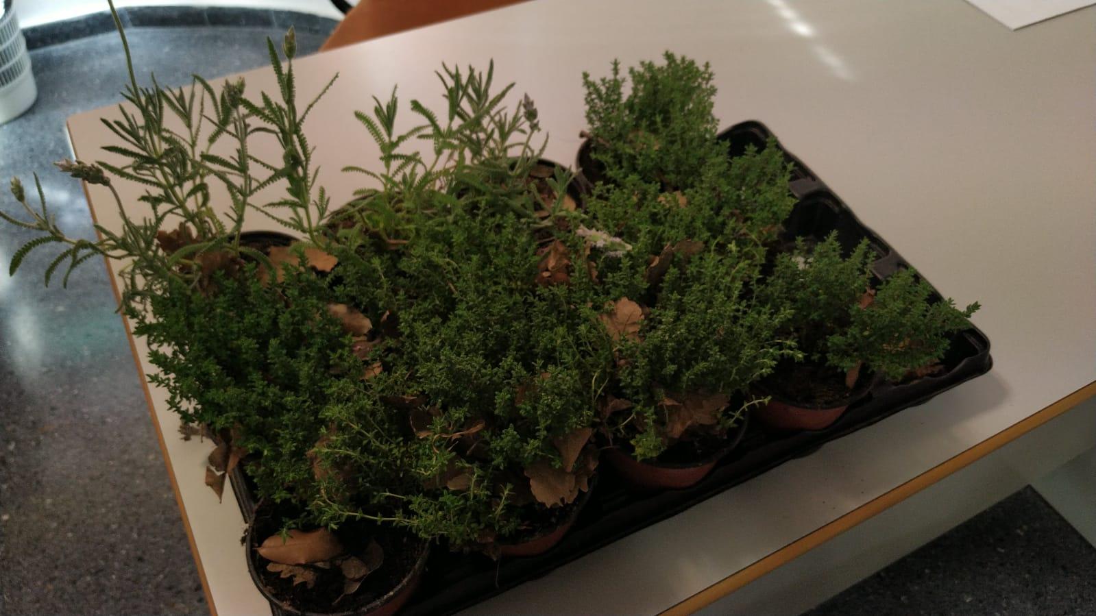 plantas aromáticas gandia