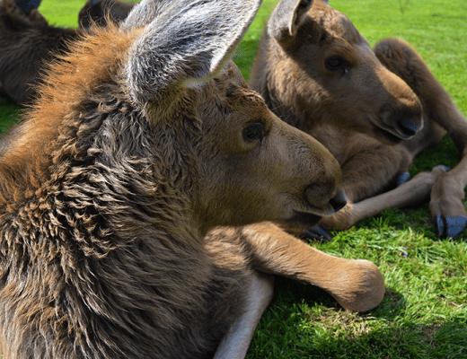 Älgens hus – Elanden boerderij - liggende kleine elanden