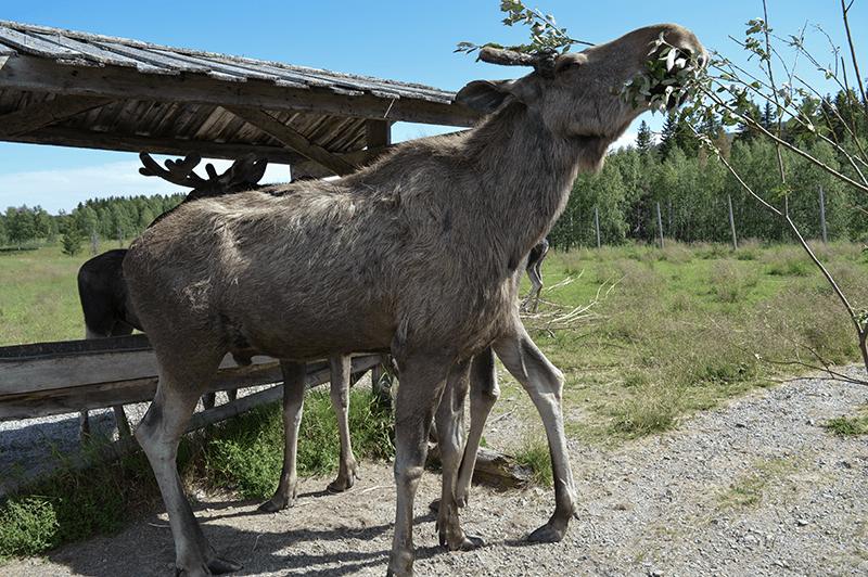 Älgens hus – Elanden boerderij - volwassen eland 03