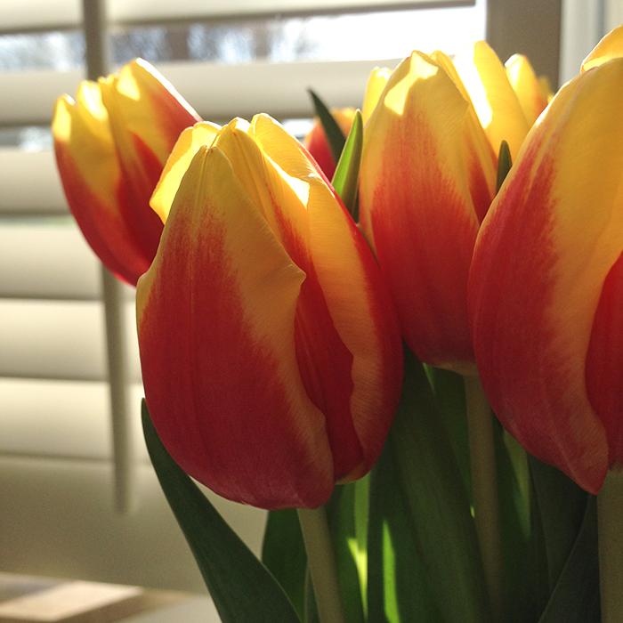 photo diary 13 tulpen