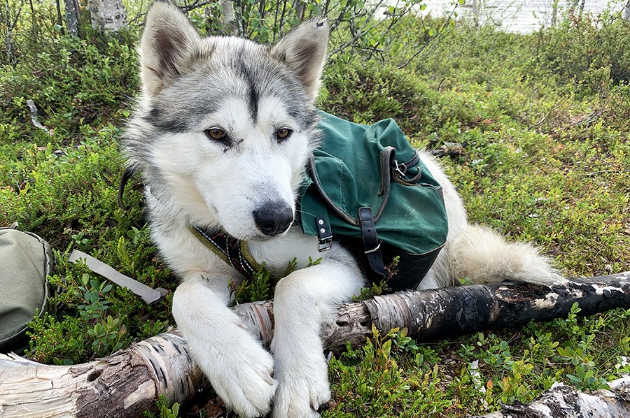 Cani-hiking in Lapland - Husky hond