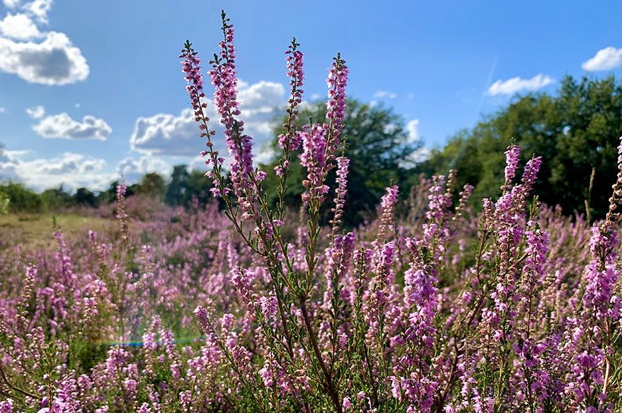 Wandelen tussen de paarse pracht in natuurgebied De Kampina
