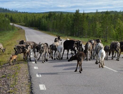 Rendieren op de weg - ontdek Noord-Zweden - sommarmorgon.com
