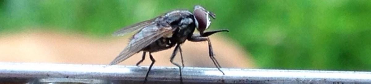 Costa Rica: Comisión de ganaderos de Pital de San Carlos denuncia que brotes de la mosca de la piña se han recrudecido