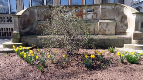 Daffodils at Frick Mansion Pittsburgh