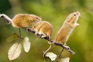 野生のカヤネズミの画像
