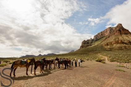 Mule resting at Tonto Platform, Grand Canyon, AZ