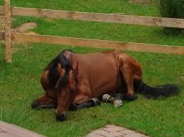 caballo morgan 3