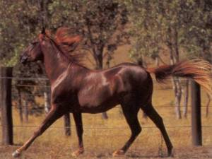caballo caspio 3
