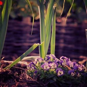 purple stem