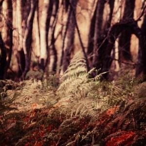 poplar fern