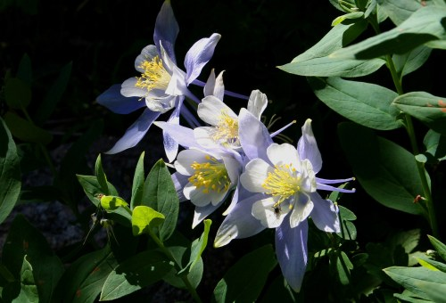 Columbines near Sky Pond, Rocky Mountain National Park, CO. Photo by Nick Krantz.