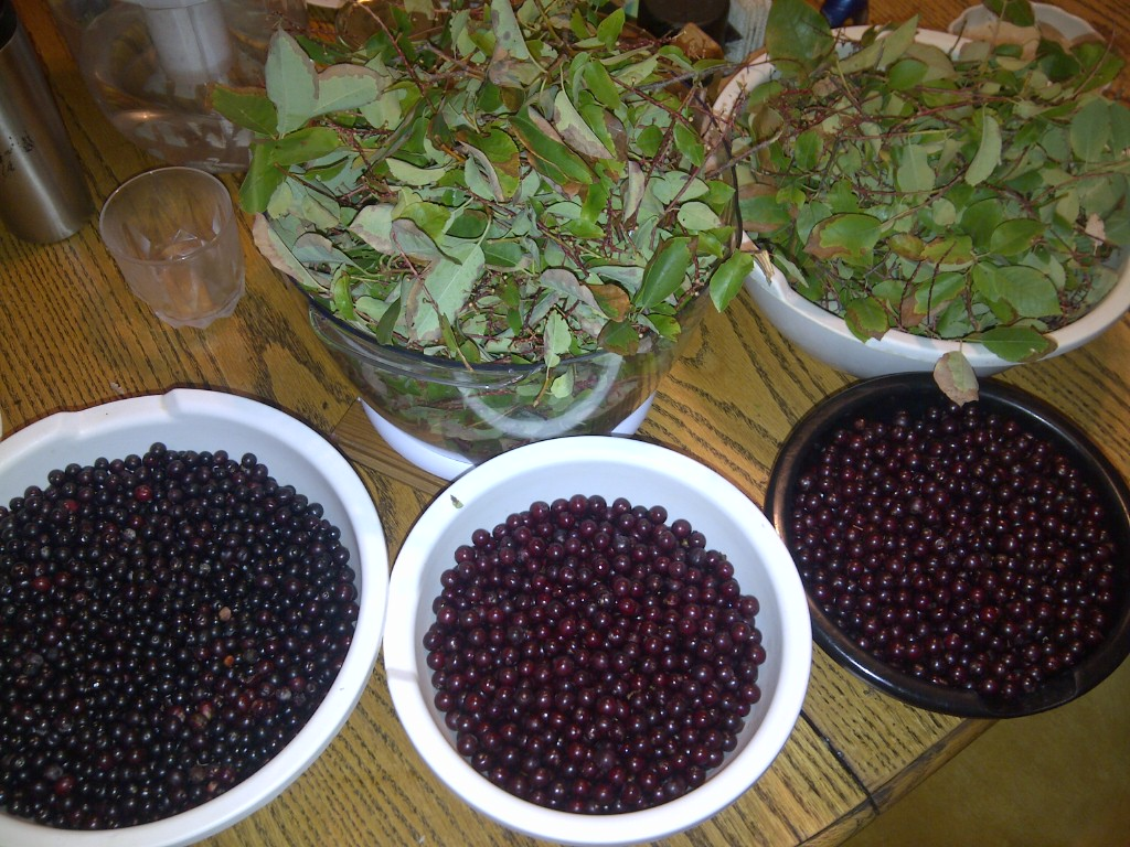 Chokecherry harvesting with Marilynn Dawson