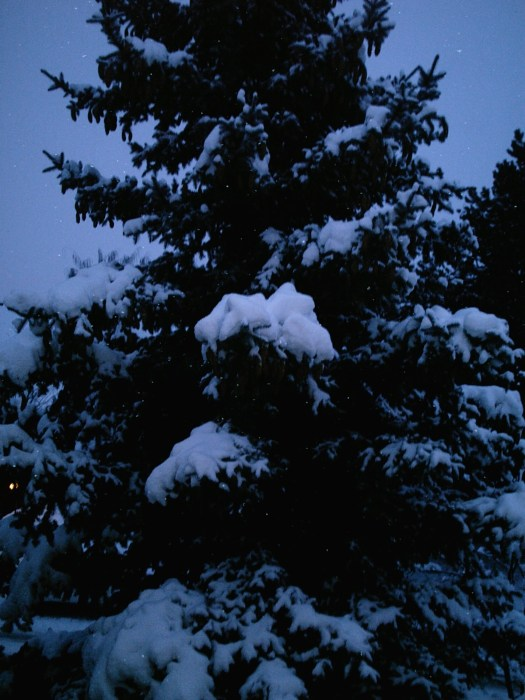 Songdove Books - Blue Spruce covered in Snow