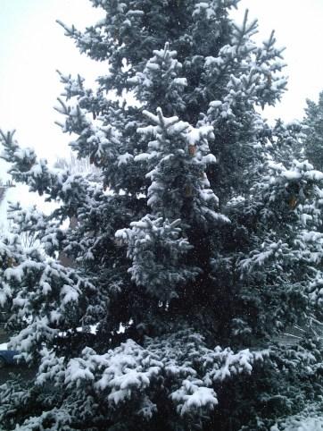 Songdove Books - Blue Spruce in Winter
