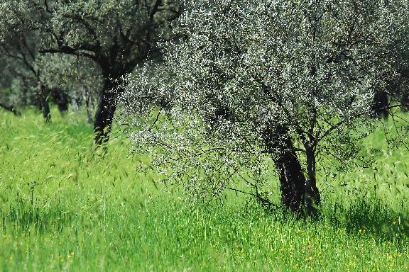 Songdove Books - olive trees