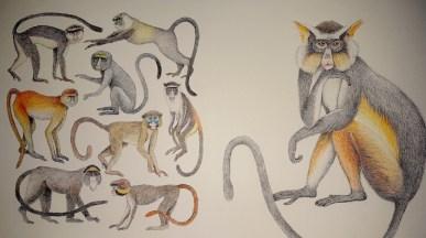 Primates -Curieux Mammifères