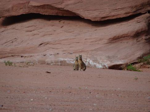 PN Talampaya / Deux maras à l'entrée du canyon. Un étrange mamifère avec une tête de castor sur un corps de lapin…