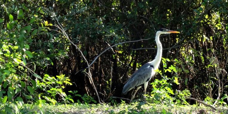 PN MADIDI / Dans les marais de la pampa : un garsadris tente de passer inaperçu…