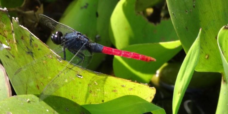PN MADIDI / Dans les marais de la pampa : une libelula