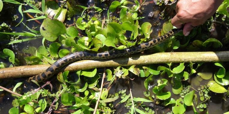 PN MADIDI / Dans les marais de la pampa : après avoir pataugé 2h, le voilà enfin ! Petite déception quand même car c'est un bébé anaconda... Laissons le tranquille