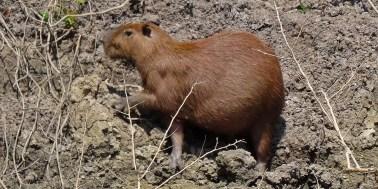 PN MADIDI / Dans la pampa : un capybara, un animal semi-aquatique et surtout le plus gros représentant de la famille des rongeurs (jusqu'à 1m de long et 65 kg).