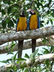 PN MADIDI / Dans la pampa : un couple de paravas barba azul se chamaille depuis des heures en poussant des cris pas possible