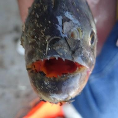 PN MADIDI / Dans la pampa : l'un des trois piranhas péchés par Nelly