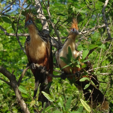 """PN MADIDI / Dans la pampa : deux cérérés, de drôles de """"poules"""" préhistoriques qui ne peuvent voler qu'une vingtaine de mètre à cause de leur poids."""