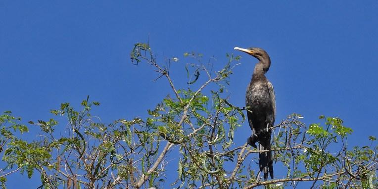 PN MADIDI / Dans la pampa : un pato cuervo se réchauffe au soleil