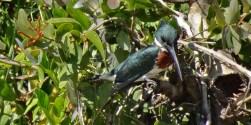PN MADIDI / Dans la pampa : un autre martin pescador