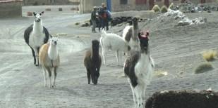 SAJAMA / Nos copains Alpagas (laine) et Lamas (viande) se baladent dans les rues arborant fiérement les pompons de leur propriétaire
