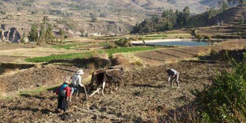 """CANYON DE COLCA / Balade sur les hauteurs de Yanque : petite heure passée avec une famille d'agriculteurs qui retournait un champ avant d'y planter des graines de maïs et de quinoa. 30 minutes sont necessaires pour retourner un """"tereno"""" de cette taille."""