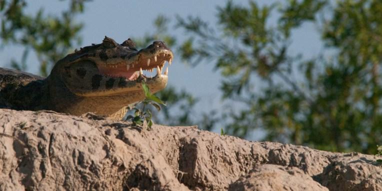 PN MADIDI / Dans les marais (pampa) (©Voelzer)