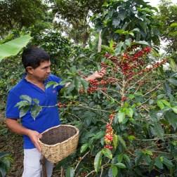 SAN AGUSTIN / Visite d'une finca de café : le caféier donne ses premiers fruits dès la première année mais son exploitation commence à ses trois ans