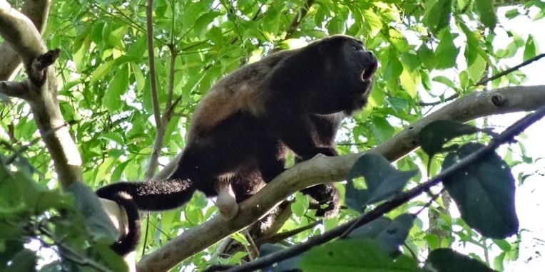 PN MANUEL ANTONIO / Le singe hurleur, l'une des stars du parc. Il est le second mammifère le plus bruyant après… la baleine. Sa boite vocale est neuf fois plus importante que la notre. Nous avons été réveillé une fois par un groupe d'entre eux qui hurlaient au lever du soleil. Sa queue lui sert de cinquième patte. Bon, et puis je laisse aux parents le soin d'expliquer pourquoi, sur cette photo, il s'agit d'un mâle ;-)